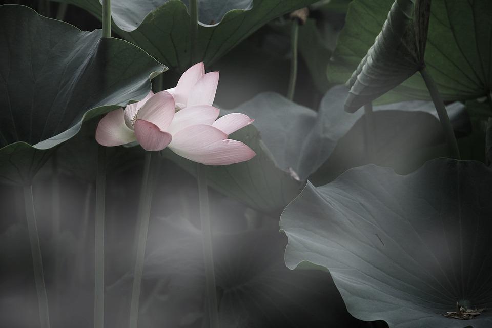 lotus-814529_960_720
