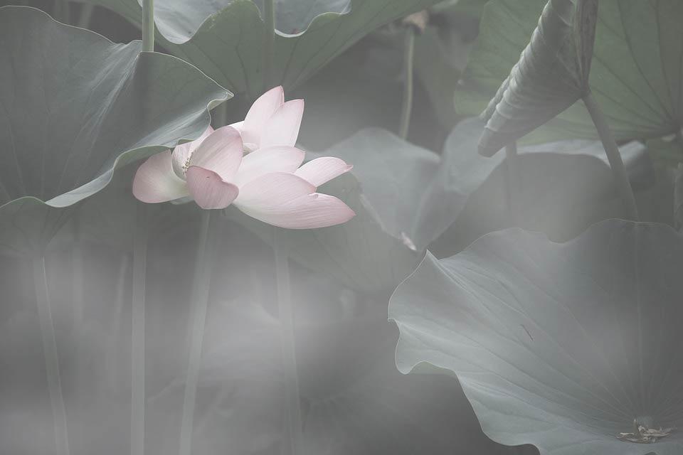 flor-lotus-folhagens-cabecalho